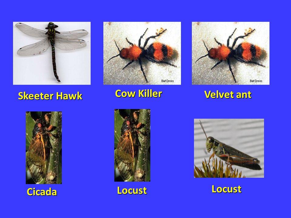 Skeeter Hawk Cow Killer Velvet ant Cicada Locust Locust