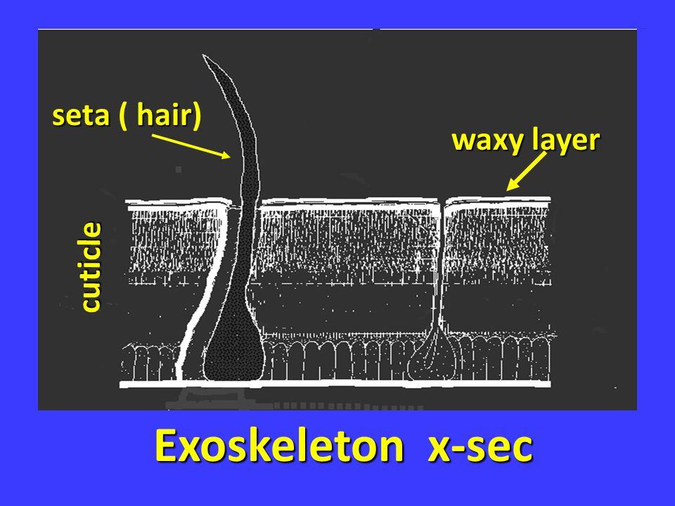 Exoskeleton x-sec waxy layer seta hair seta ( hair) cuticle
