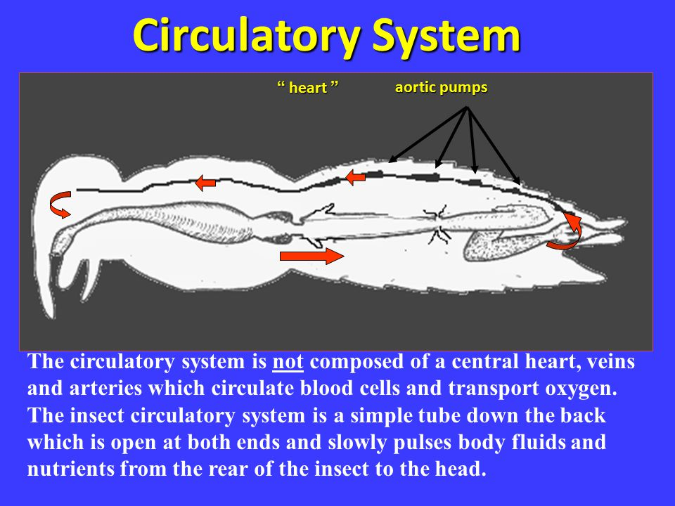 """Circ system Circulatory System aortic pumps """" heart """" The circulatory system is not composed of a central heart, veins and arteries which circulate bl"""