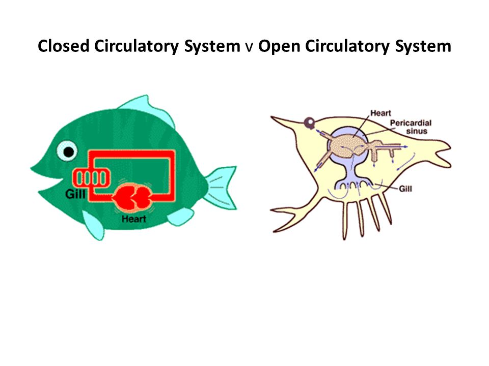 Closed Circulatory System v Open Circulatory System