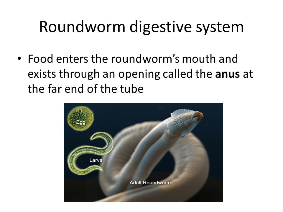 Roundworm digestive system Food enters the roundworm's mouth and exists through an opening called the anus at the far end of the tube