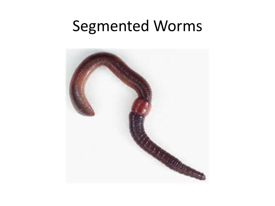 Mealworm Life Cycle Egg7–14 days Larva30–90 days --5 molts occur Pupa10–20 days Adult5–10 daysBranApple The cycle continues.