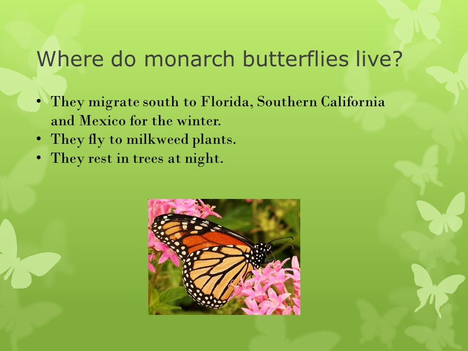 Where do monarch butterflies live? They migrate south to Florida, Southern California and Mexico for the winter. They fly to milkweed plants. They res
