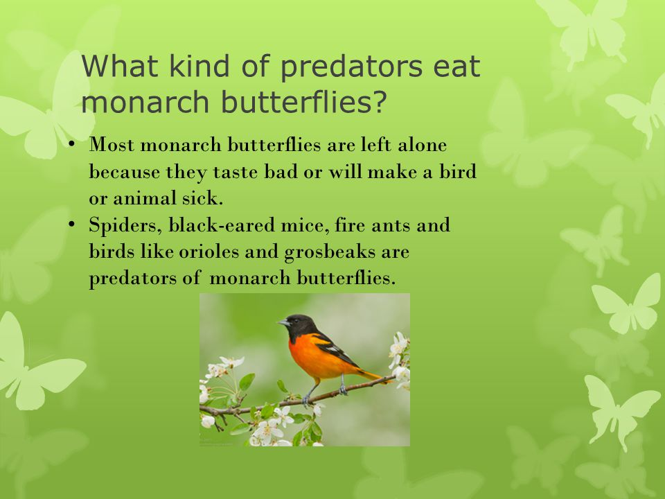 What kind of predators eat monarch butterflies? Most monarch butterflies are left alone because they taste bad or will make a bird or animal sick. Spi
