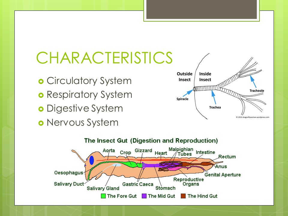 CHARACTERISTICS  Circulatory System  Respiratory System  Digestive System  Nervous System