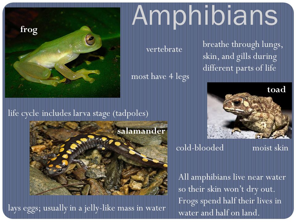 Amphibians vertebrate cold-bloodedmoist skin All amphibians live near water so their skin won't dry out. Frogs spend half their lives in water and hal
