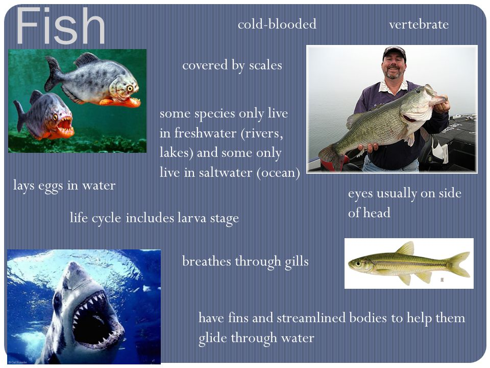 Fish vertebratecold-blooded covered by scales some species only live in freshwater (rivers, lakes) and some only live in saltwater (ocean) lays eggs i