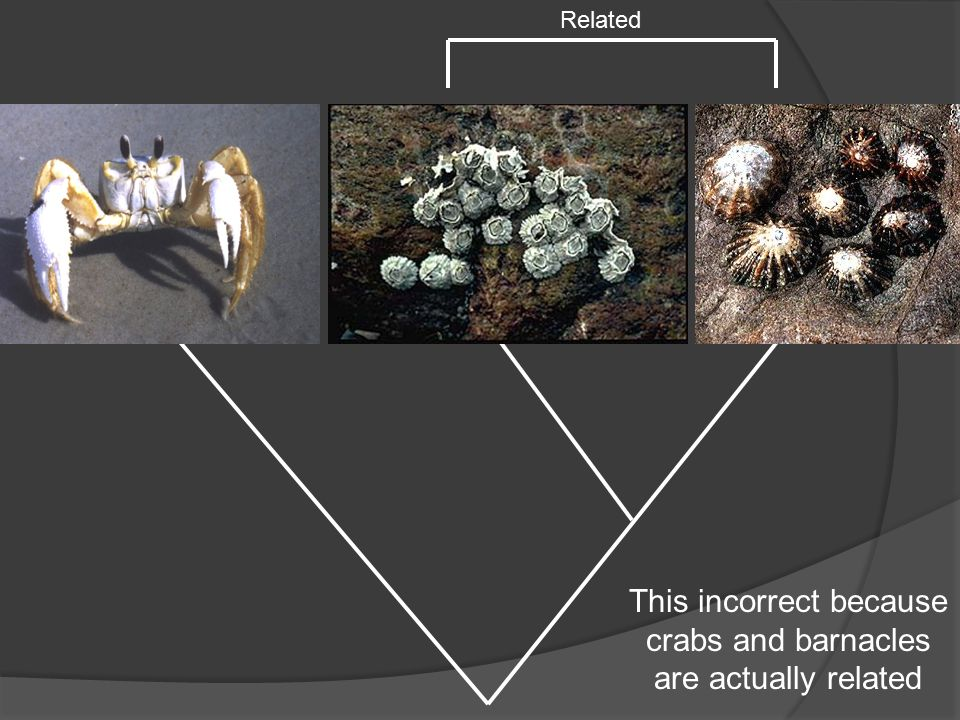 Related This incorrect because crabs and barnacles are actually related
