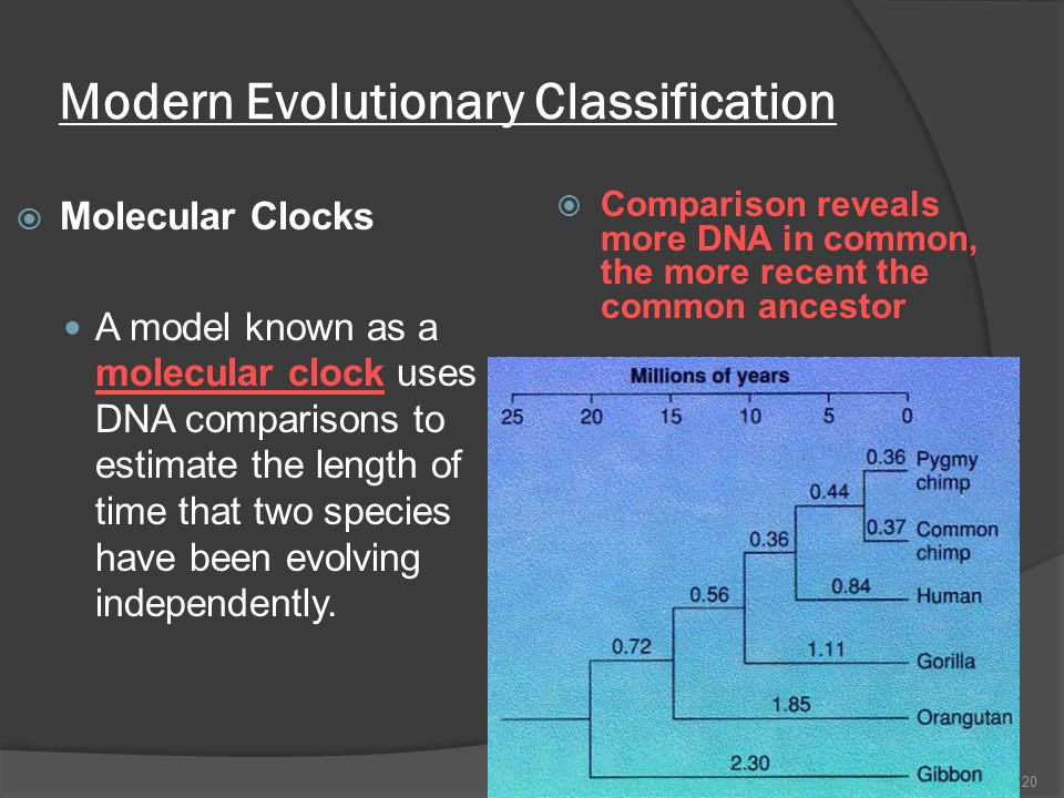 Modern Evolutionary Classification  Molecular Clocks A model known as a molecular clock uses DNA comparisons to estimate the length of time that two