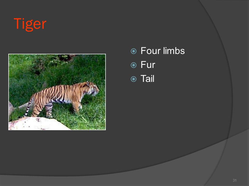 Tiger  Four limbs  Fur  Tail 31