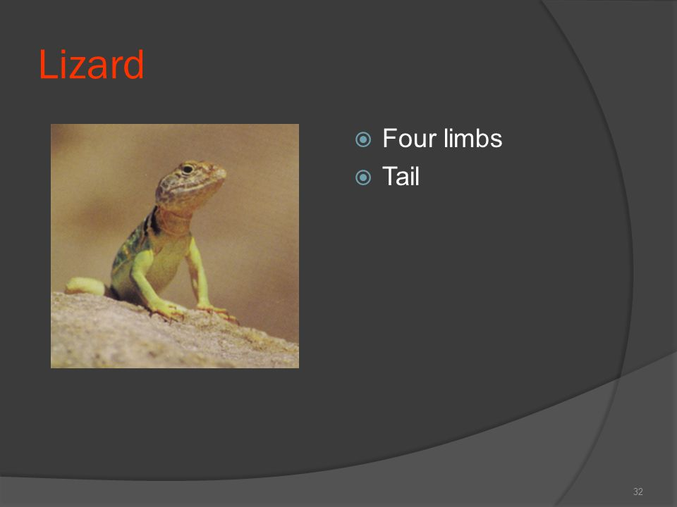 Lizard  Four limbs  Tail 32
