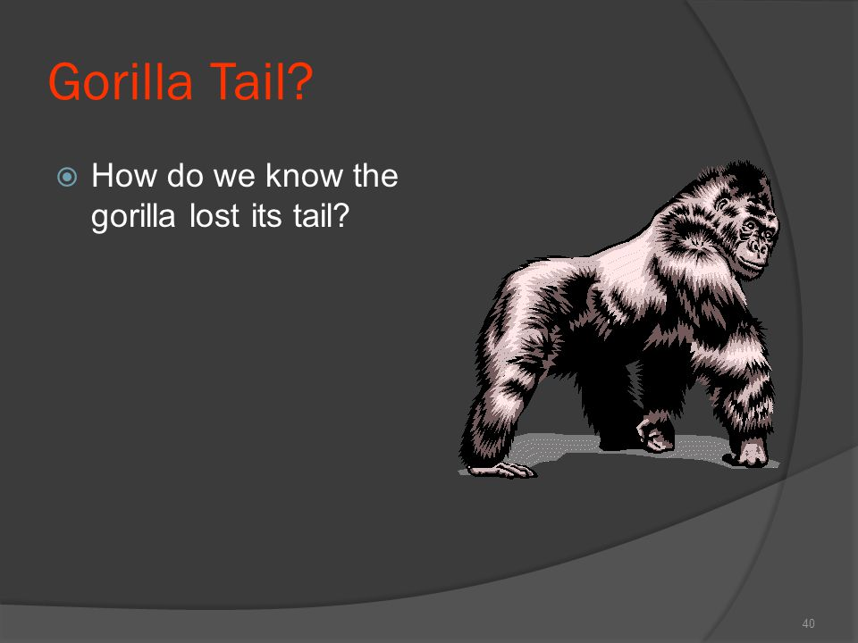 Gorilla Tail?  How do we know the gorilla lost its tail? 40