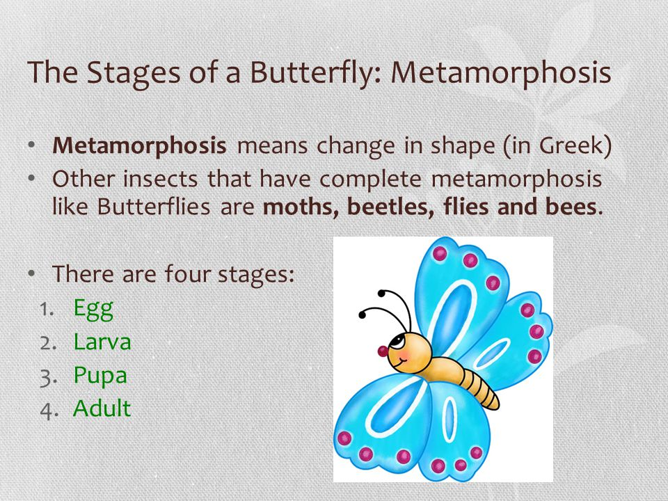 The Stages of a Butterfly: Metamorphosis Metamorphosis means change in shape (in Greek) Other insects that have complete metamorphosis like Butterflies are moths, beetles, flies and bees.