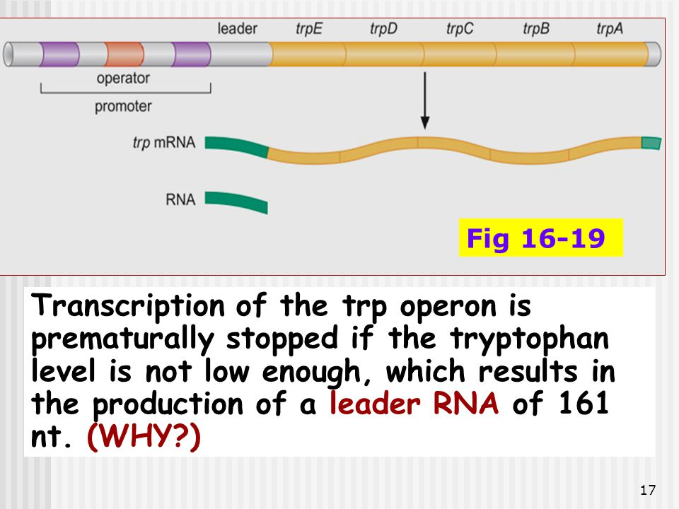 17 Fig 16-19 Transcription of the trp operon is prematurally stopped if the tryptophan level is not low enough, which results in the production of a l