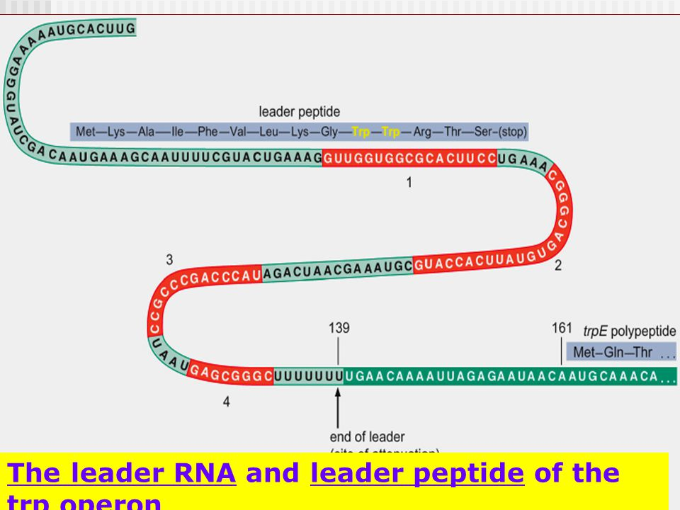 19 The leader RNA and leader peptide of the trp operon