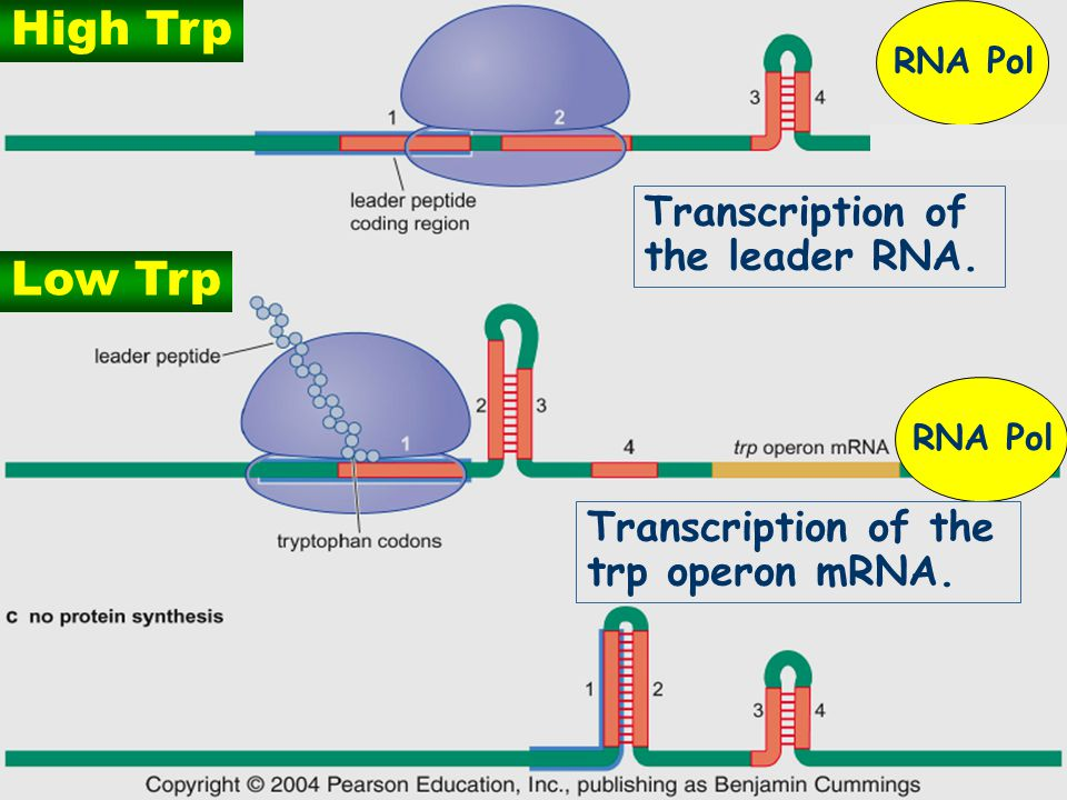 20 Low Trp High Trp Transcription of the leader RNA. Transcription of the trp operon mRNA. RNA Pol