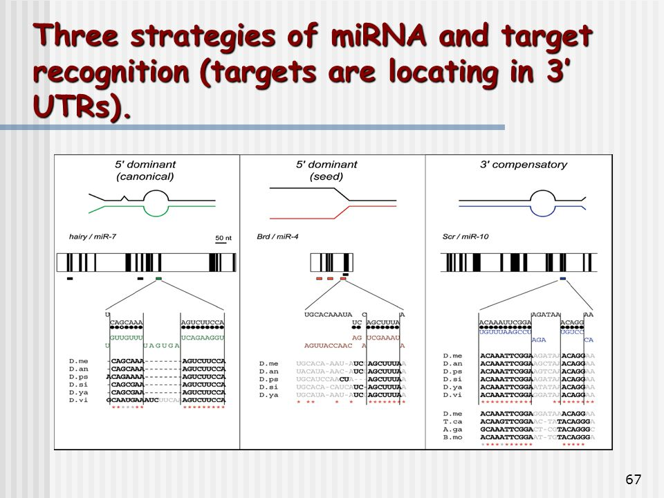 67 Three strategies of miRNA and target recognition (targets are locating in 3' UTRs).