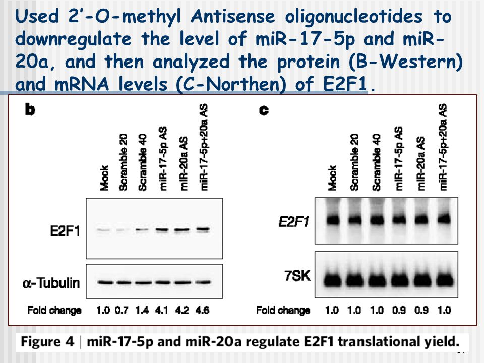 87 Used 2'-O-methyl Antisense oligonucleotides to downregulate the level of miR-17-5p and miR- 20a, and then analyzed the protein (B-Western) and mRNA