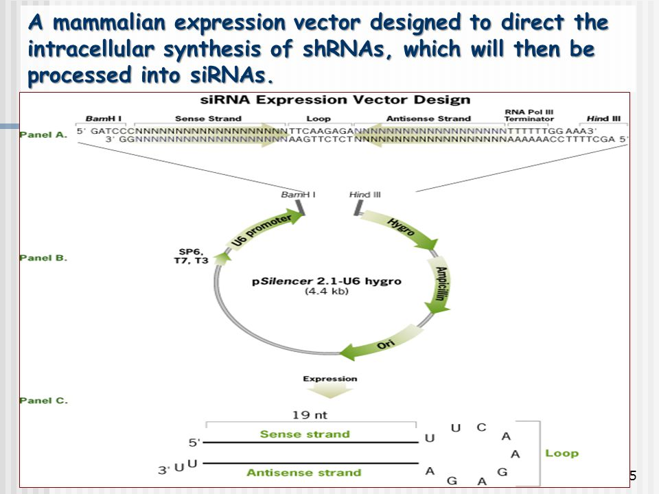 95 A mammalian expression vector designed to direct the intracellular synthesis of shRNAs, which will then be processed into siRNAs.