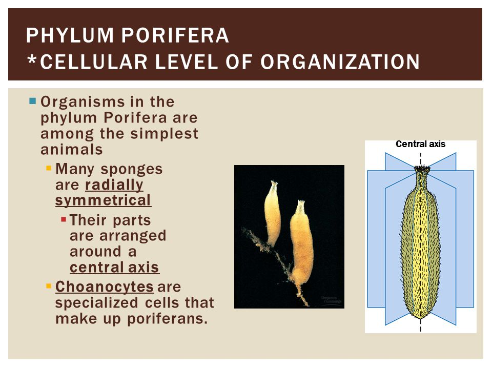 Phylum Mollusca is a large and diverse phylum that includes  gastropods, such as snails and slugs  bivalves, such as clams and scallops  cephalopods, such as squids and octopuses PHYLUM MOLLUSCA *COELOM