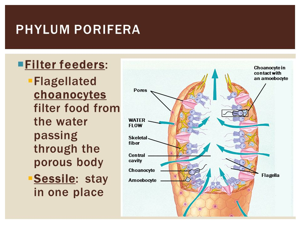  All mollusks have a muscular foot and a mantle  The mantle may secrete a shell which encloses the visceral mass  Mollusks have a true coelom and a circulatory system  Many mollusks feed with a rasping radula PHYLUM MOLLUSCA