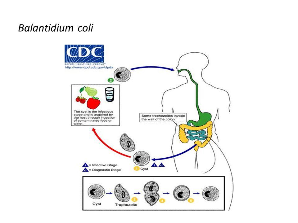Balantidium coli