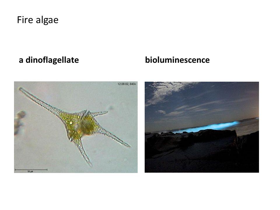 Fire algae a dinoflagellatebioluminescence