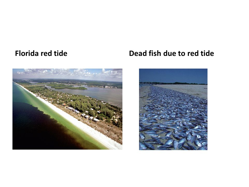 Florida red tideDead fish due to red tide