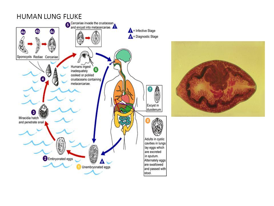 HUMAN LUNG FLUKE