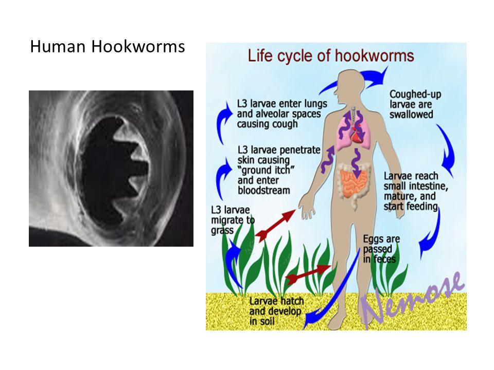 Human Hookworms