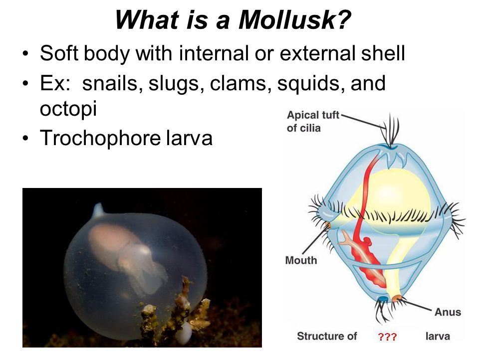 What is a Mollusk? Soft body with internal or external shell Ex: snails, slugs, clams, squids, and octopi Trochophore larva