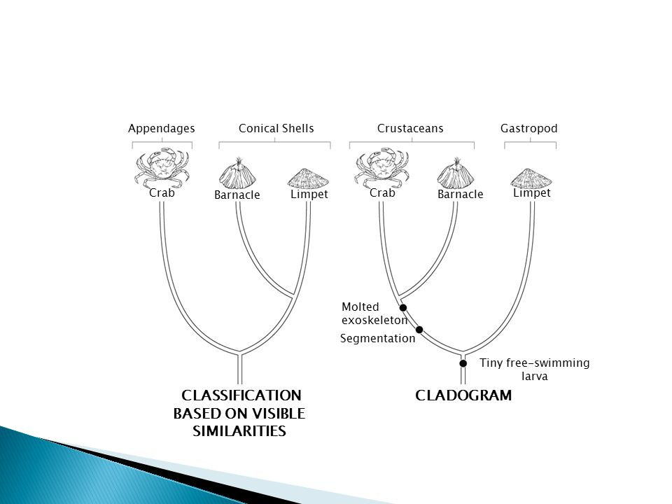 CLADOGRAM AppendagesConical Shells Crab Barnacle Limpet Crab Barnacle Limpet CrustaceansGastropod Molted exoskeleton Segmentation Tiny free-swimming larva Section 18-2 Traditional Classification Versus Cladogram