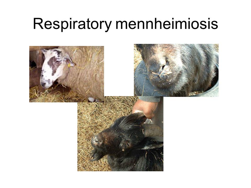 Respiratory mennheimiosis