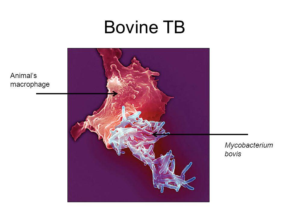 Bovine TB Animal's macrophage Mycobacterium bovis
