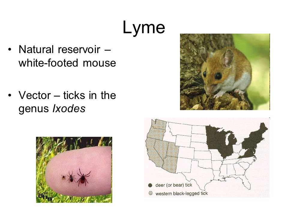 Lyme Natural reservoir – white-footed mouse Vector – ticks in the genus Ixodes