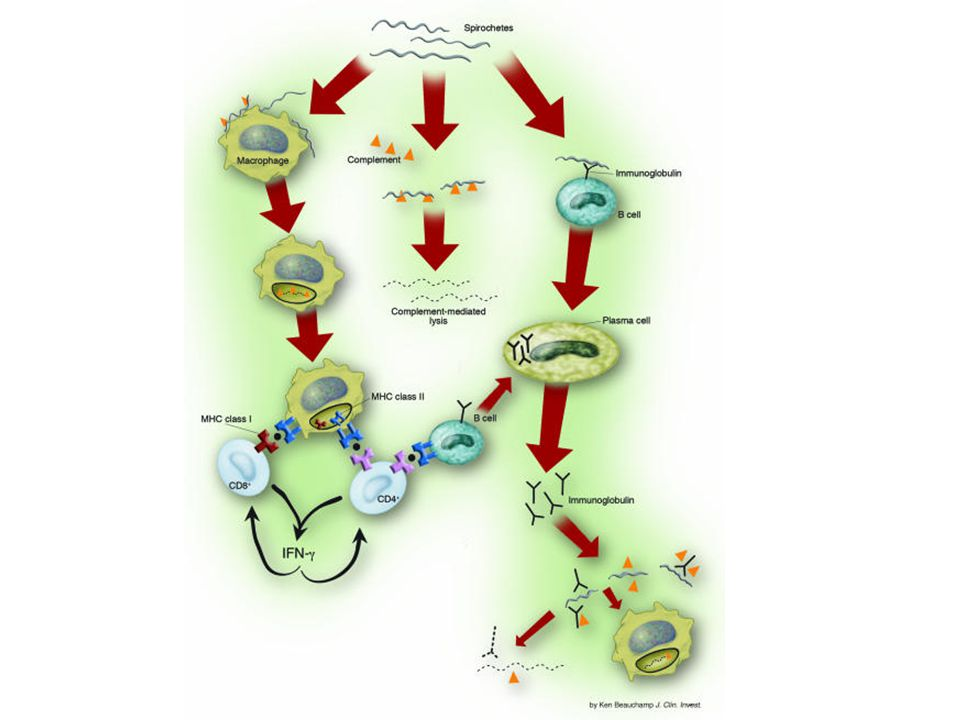 Lyme Borrelia in bloodstream