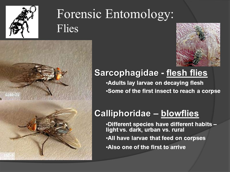 Forensic Entomology: Flies Sarcophagidae Sarcophagidae - flesh flies Adults lay larvae on decaying flesh Some of the first insect to reach a corpse Ca