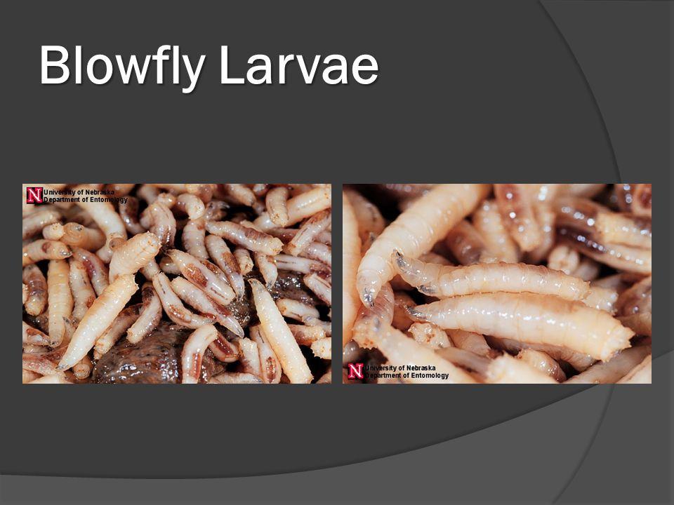 Blowfly Larvae