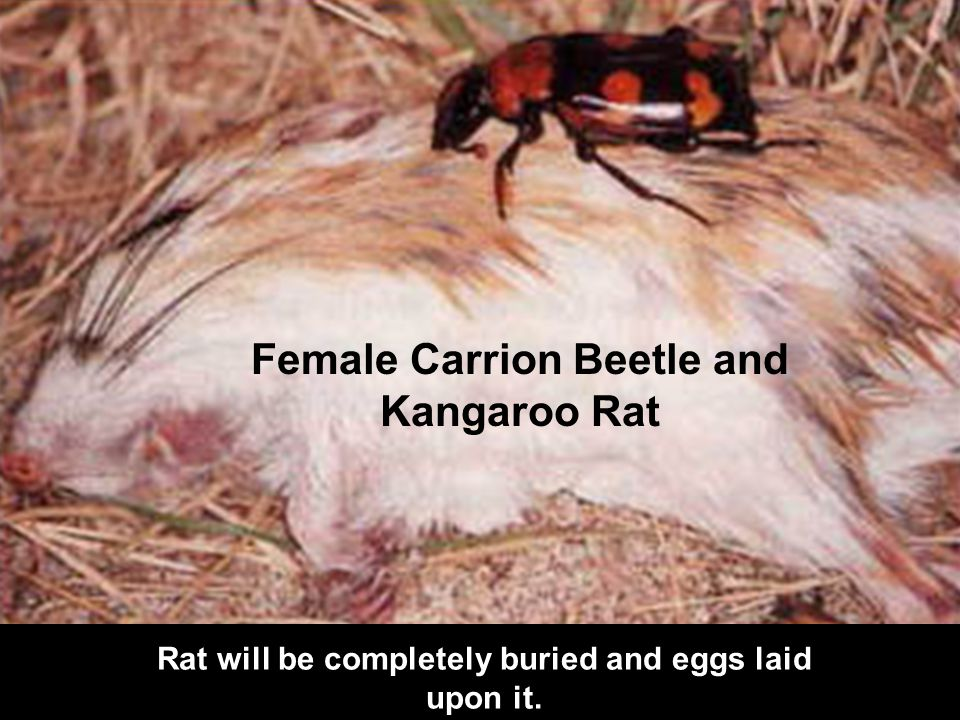 Female Carrion Beetle and Kangaroo Rat Rat will be completely buried and eggs laid upon it.