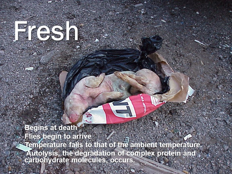 Fresh  Begins at death  Flies begin to arrive  Temperature falls to that of the ambient temperature.