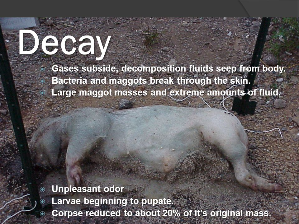 Decay  Gases subside, decomposition fluids seep from body.  Bacteria and maggots break through the skin.  Large maggot masses and extreme amounts o