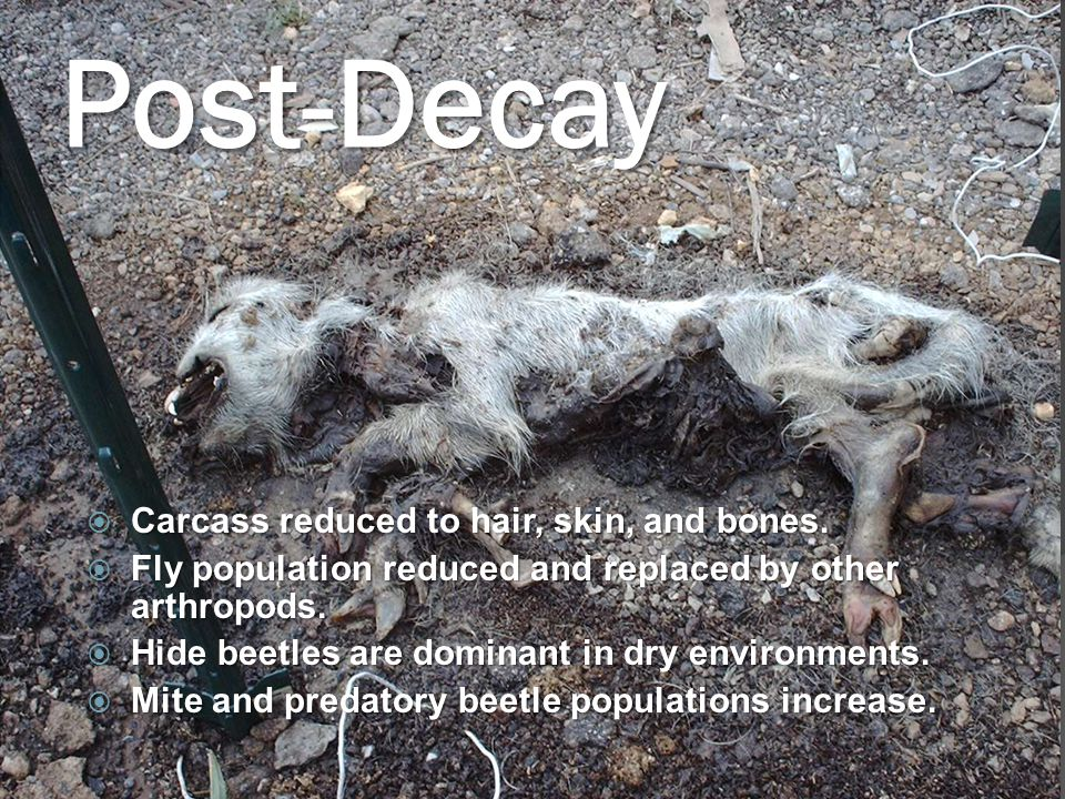 Post-Decay  Carcass reduced to hair, skin, and bones.