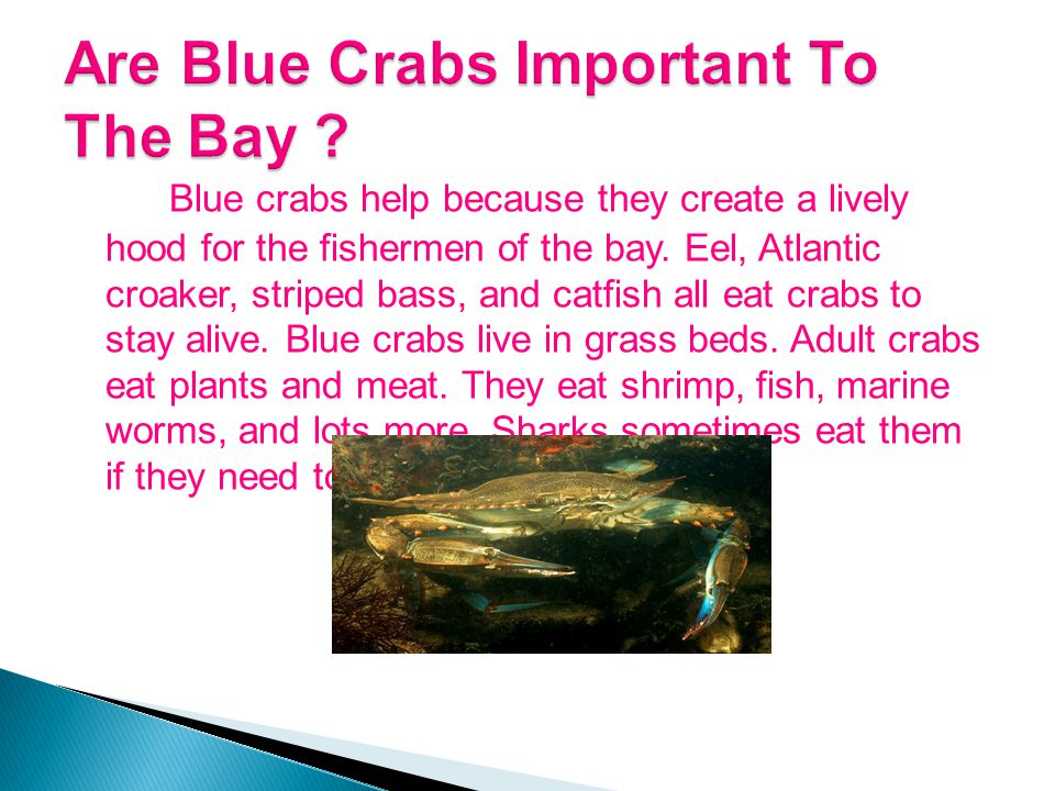 Blue crabs help because they create a lively hood for the fishermen of the bay.