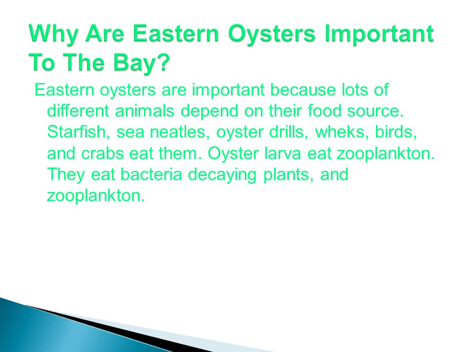 Eastern oysters are important because lots of different animals depend on their food source.