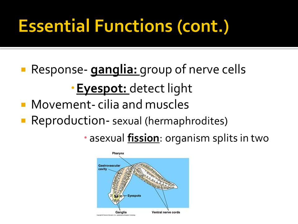  Response- ganglia: group of nerve cells  Eyespot: detect light  Movement- cilia and muscles  Reproduction- sexual (hermaphrodites)  asexual fission: organism splits in two