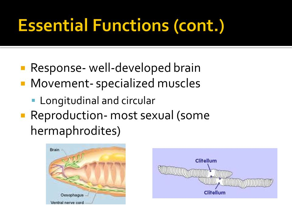  Response- well-developed brain  Movement- specialized muscles  Longitudinal and circular  Reproduction- most sexual (some hermaphrodites)