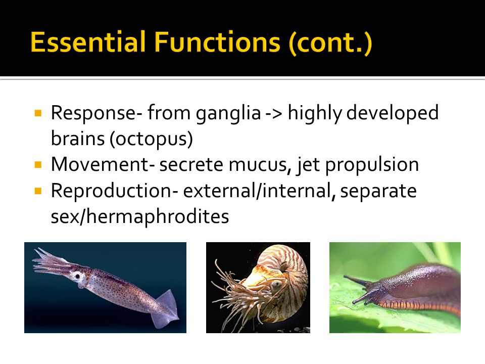  Response- from ganglia -> highly developed brains (octopus)  Movement- secrete mucus, jet propulsion  Reproduction- external/internal, separate sex/hermaphrodites