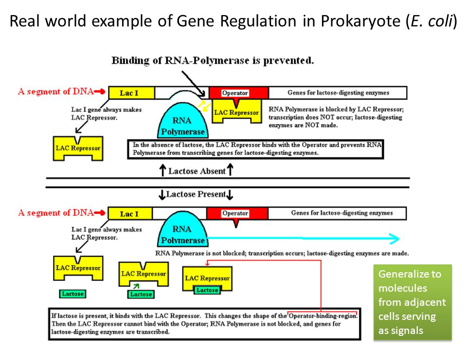 Real world example of Gene Regulation in Prokaryote (E. coli) 8 Generalize to molecules from adjacent cells serving as signals