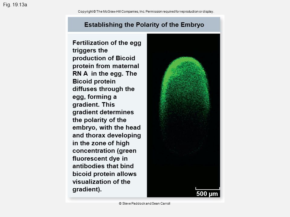 Fig. 19.13a Copyright © The McGraw-Hill Companies, Inc. Permission required for reproduction or display. Establishing the Polarity of the Embryo Ferti