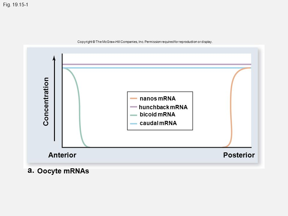 Fig. 19.15-1 Copyright © The McGraw-Hill Companies, Inc. Permission required for reproduction or display. Concentration Anterior a. Oocyte mRNAs Poste